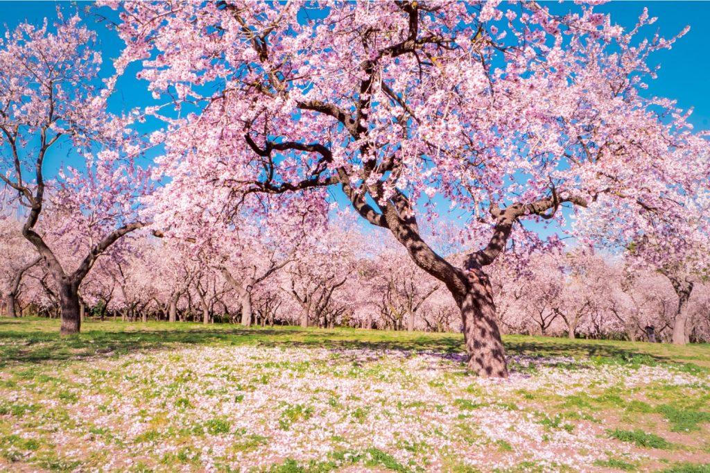 La Quinta de los Molinos y los almendros en flor. El paso de las estaciones y el anuncio de la primavera
